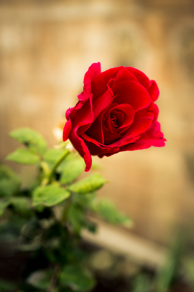 Photo of one red rose.